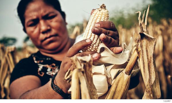 señora recolecta maiz en mexico