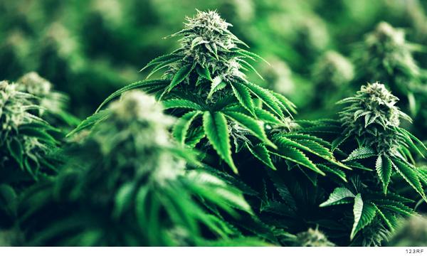 Imagen de la planta de cannabis de donde se obtiene la mariguana
