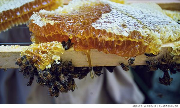 Abejas junto a un panel de miel